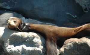 entangled-sea-lion-1