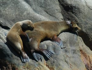 entangled-sea-lion