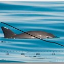 Will it take a miracle to save La Vaquita Marina: The Sea of Cortes' almost extinct harbor porpoise?