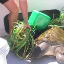 Turtle Released from long line around 2000 to 2001
