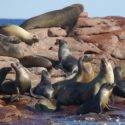 Sea Lion Disentanglement: The Definition of a Good Day